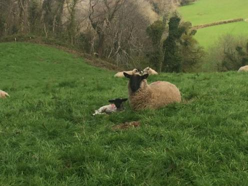 Picture 15 - Lambs