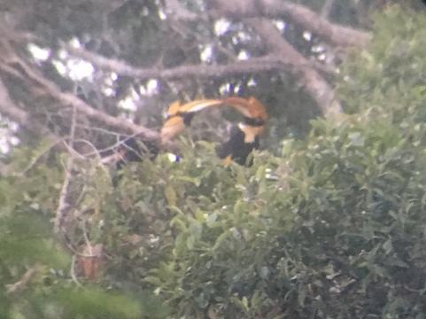 Hornbills 3