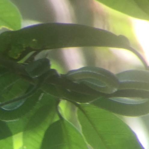 Tree snake green